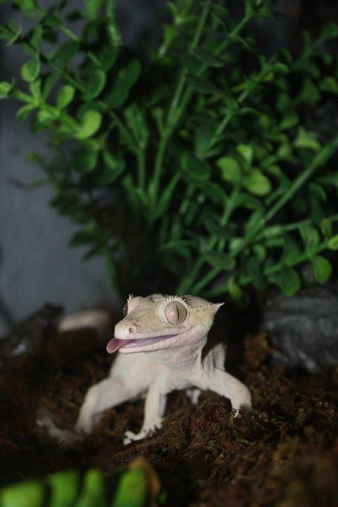 Tyler The Gecko
